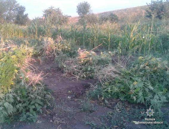 Двое ранее судимых мужчин выращивали наркорастения (ФОТО)