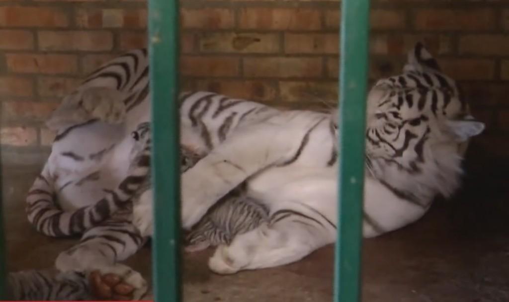 Белый мех и голубые глаза: в Бердянском зоопарке родились уникальные тигрята (ВИДЕО)