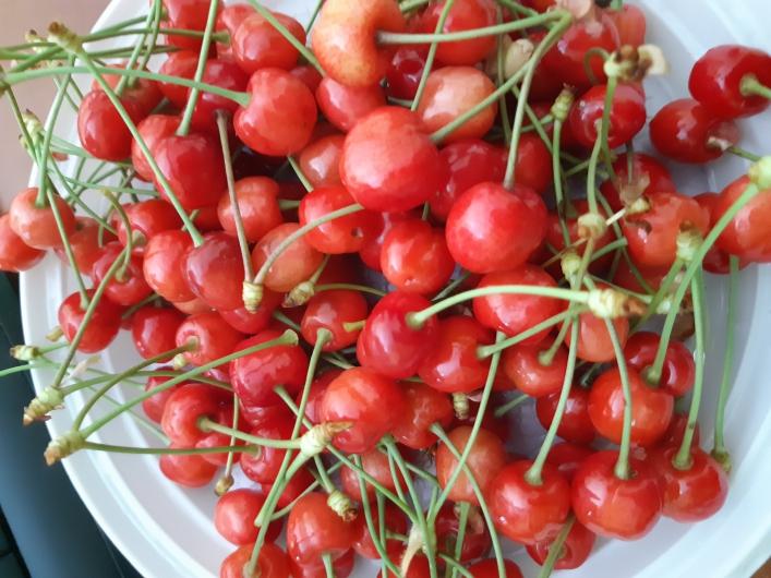 В Запорожской области поспела черешня: какие прогнозы дают садоводам (ФОТО)