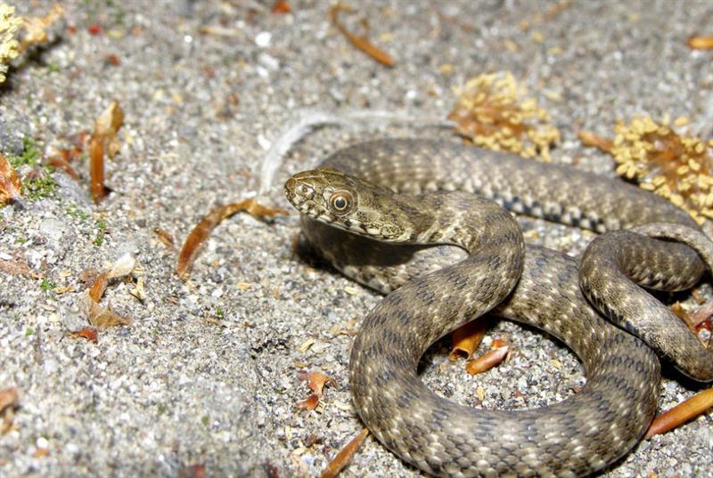 Отдыхающих на побережье Азовского моря пугают змеи (ВИДЕО, ФОТО)