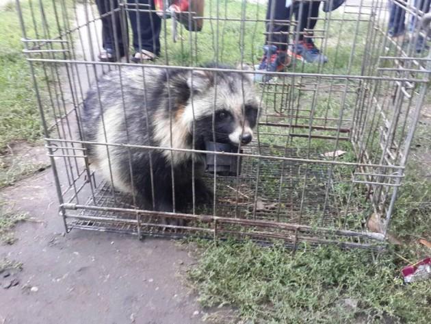 Освобождение зверька: в Запорожье провели операцию по спасению енота (ФОТО)