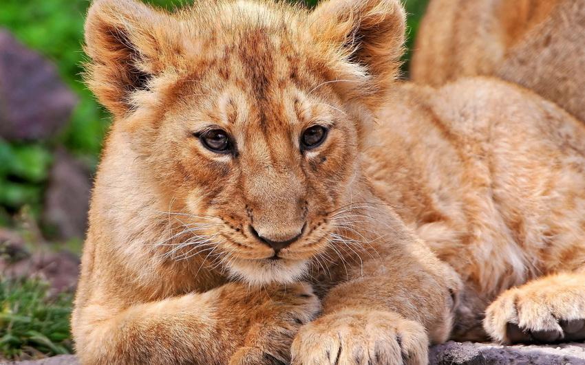 Львята подросли: в сети появилось забавное видео с Бердянского зоопарка