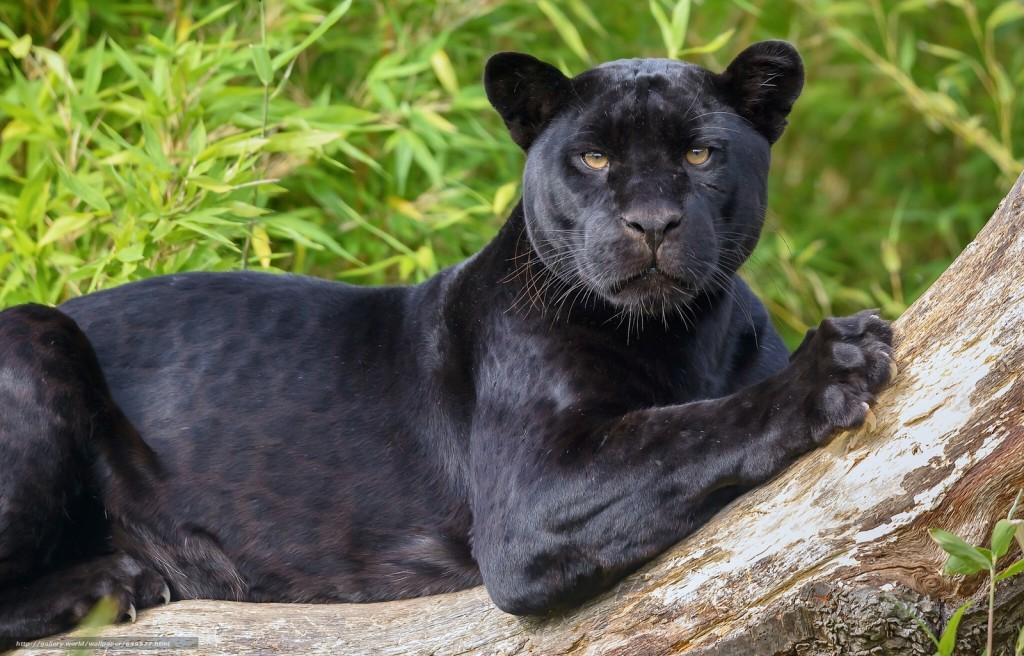 Один день из жизни пантеры Багиры: бердянский зоопарк порадовал новым видео