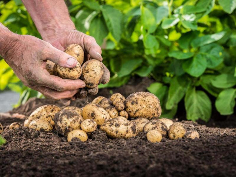 Выбираем картофель для посадки
