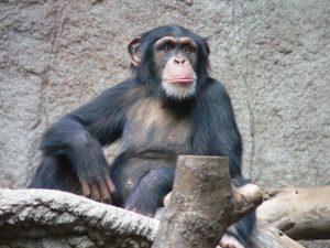 В Бердянском зоопарке показали, как шимпанзе забавно пьет воду (ВИДЕО)
