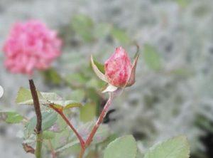 Фотофакт: впереди морозы, а в Мелитополе цветут розы