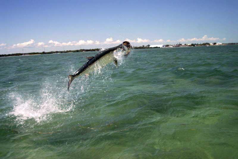 Пиленгас выпрыгивает из воды: восстановленный Молочный лиман кишит рыбой (ВИДЕО)