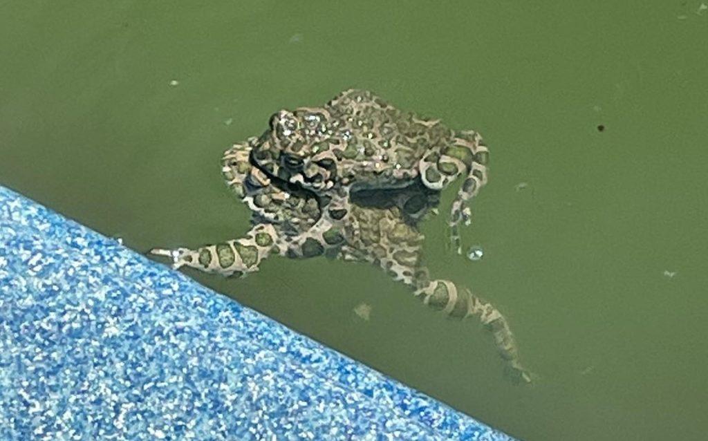 Поют как соловьи: под Запорожьем поселились редкие среднеазиатские жабы (ФОТО)