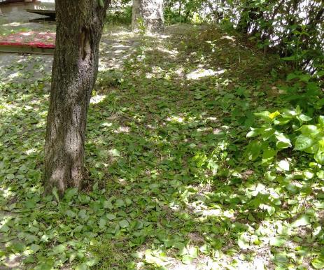 Почему в Запорожье и области с абрикосовых деревьев массово осыпаются листья (ФОТО)