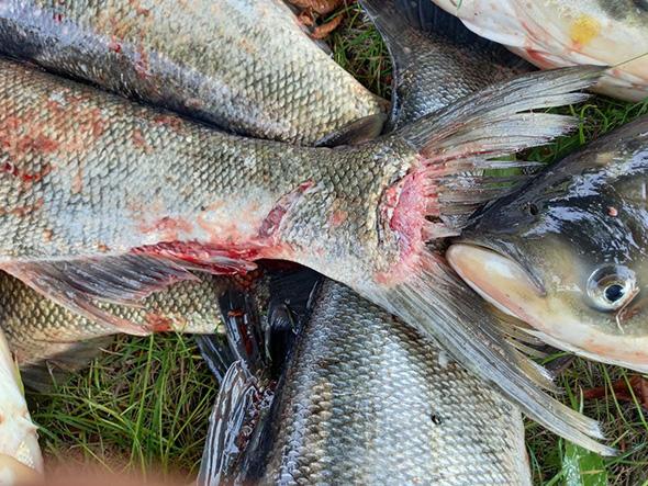 Рыба без головы и с рублеными ранами: возле ДнепроГЭСа погибло 4 тонны толстолобика (ФОТО)