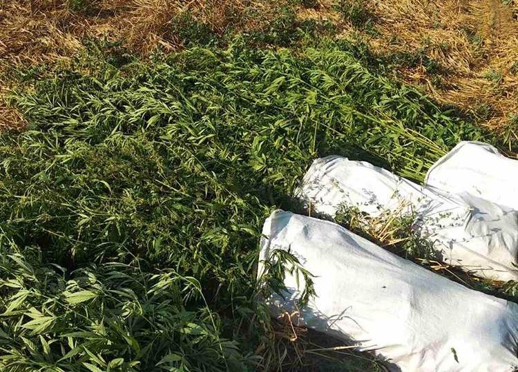 В Запорожской области у 60-летней женщины нашли сотни кустов конопли (ФОТО)