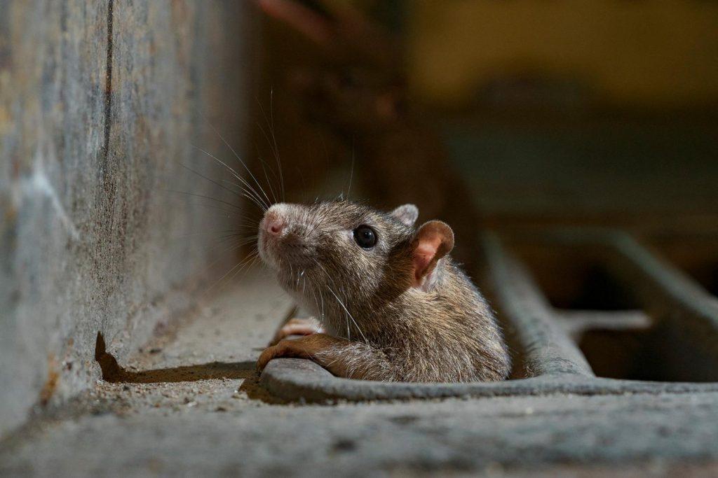 Массово селились в кафе и магазинах: на запорожском курорте нашествие крыс, — СМИ