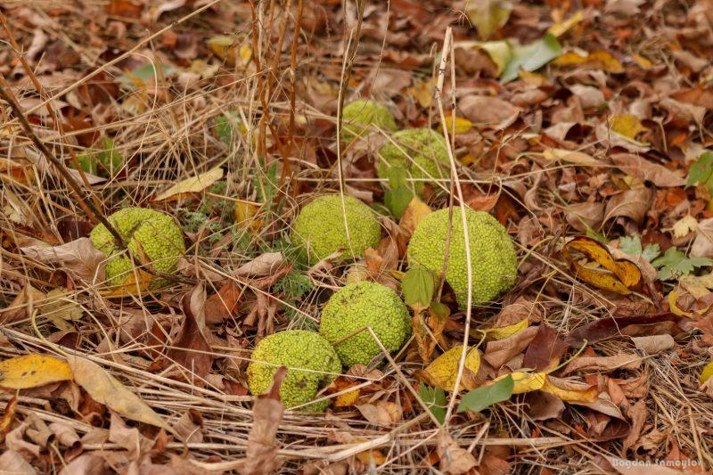 В Запорожье на Хортице поляна усеяна «лжеапельсинами»: что это за плоды (ФОТО)